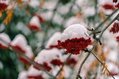 Μια δέσμη της κόκκινης σορβιάς κάτω από το πρώτο χιόνι στοκ φωτογραφίες