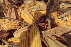 Μια δέσμη του ξηρού καλαμποκιού στοκ φωτογραφίες