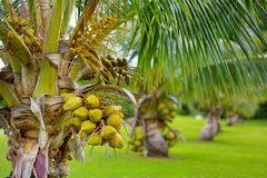 Μια δέσμη των καρύδων που ωριμάζουν σε ένα νάνο δέντρο καρύδων στο μεγάλο νησί της Χαβάης Στοκ Φωτογραφίες