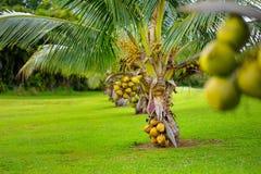 Μια δέσμη των καρύδων που ωριμάζουν σε ένα νάνο δέντρο καρύδων στο μεγάλο νησί της Χαβάης Στοκ εικόνες με δικαίωμα ελεύθερης χρήσης