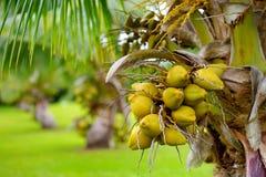 Μια δέσμη των καρύδων που ωριμάζουν σε ένα νάνο δέντρο καρύδων στο μεγάλο νησί της Χαβάης Στοκ φωτογραφίες με δικαίωμα ελεύθερης χρήσης