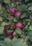 Μια δέσμη των μήλων σε ένα δέντρο στοκ φωτογραφίες