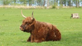 Μια δασύτριχη yak ανάπαυση με την ευτυχία στοκ φωτογραφία με δικαίωμα ελεύθερης χρήσης