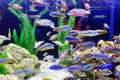 Μια δεξαμενή ψαριών με τα ζωηρόχρωμα τροπικά ψάρια Στοκ Εικόνες