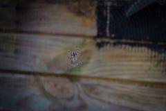 Μια διαγώνια αράχνη στον Ιστό αραχνών της Στοκ εικόνα με δικαίωμα ελεύθερης χρήσης