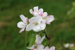 Μια διακλάδωση ενός Apple-δέντρου με την κινηματογράφηση σε πρώτο πλάνο λουλουδιών την άνοιξη Στοκ Εικόνες