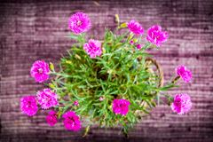 Μια διπλός-ανθισμένη καλλιεργημένη ποικιλία του ροζ γαρίφαλων Στοκ Εικόνα