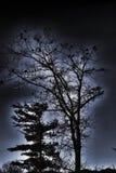 Μια δολοφονία των κοράκων συλλέγει σε ένα δέντρο για τη νύχτα στοκ εικόνα