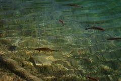 Μια εικόνα των ψαριών που κολυμπούν σε μια λίμνη, που λαμβάνεται στο εθνικό πάρκο Plitvice, Κροατία Στοκ Φωτογραφία
