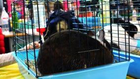 Μια εκφοβισμένη μαύρη συνεδρίαση κουνελιών σε ένα κλουβί φιλμ μικρού μήκους
