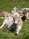 Μια ελβετική αγελάδα Στοκ φωτογραφία με δικαίωμα ελεύθερης χρήσης