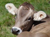 Μια ελβετική αγελάδα Στοκ Εικόνες