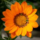 Μια ενιαία πορτοκαλιά κινηματογράφηση σε πρώτο πλάνο λουλουδιών gazania στοκ εικόνες με δικαίωμα ελεύθερης χρήσης