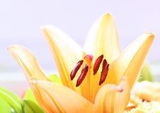 Μια ενιαία πολυ χρωματισμένη Lilly Στοκ εικόνα με δικαίωμα ελεύθερης χρήσης