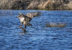 Μια εξισορρόπηση αετών Στοκ Φωτογραφία