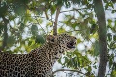 Μια λεοπάρδαλη που ανατρέχει σε ένα δέντρο στο Kruger Στοκ Φωτογραφία
