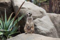 Μια επιφυλακή meerkat που στέκεται στην πέτρα Στοκ Φωτογραφία