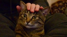 Μια εσωτερική γάτα κάθεται στα γόνατά του στον ιδιοκτήτη, ένα άτομο κτυπά μια γάτα, μια γάτα κατοικίδιων ζώων χασμουριέται στην π φιλμ μικρού μήκους