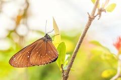 Μια εύθραυστη καφετιά πεταλούδα Euploea κάθεται σε ένα πράσινο φύλλο Στοκ Εικόνες