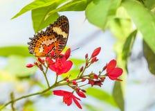 Μια εύθραυστη πορτοκαλιά φωτεινή πεταλούδα συλλέγει το νέκταρ σε ένα ρόδινο λουλούδι Στοκ Φωτογραφίες