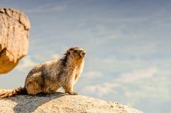 Μια ζωική μαρμότα στα βουνά μεταξύ των πετρών και του βρύου, στενός-u Στοκ φωτογραφία με δικαίωμα ελεύθερης χρήσης