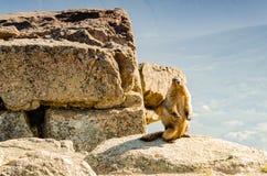 Μια ζωική μαρμότα στα βουνά μεταξύ των πετρών και του βρύου, στενός-u Στοκ εικόνες με δικαίωμα ελεύθερης χρήσης