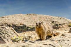 Μια ζωική μαρμότα στα βουνά μεταξύ των πετρών και του βρύου, στενός-u Στοκ Εικόνες