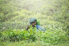 Μια ηλικιωμένη γυναίκα συλλέγει το τσάι στοκ φωτογραφία
