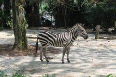 Μια ημέρα στη ζωή του με ραβδώσεις, ζωολογικός κήπος της Σιγκαπούρης Ζωική ανασκόπηση Στοκ Εικόνα