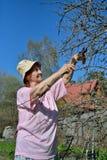 Μια ηλικιωμένη ψαλίδα κηπουρών γυναικών κόβει τον κλάδο δέντρων της Apple στο s Στοκ φωτογραφία με δικαίωμα ελεύθερης χρήσης