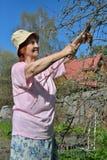 Μια ηλικιωμένη ψαλίδα κηπουρών γυναικών κόβει τον κλάδο δέντρων της Apple στο s Στοκ φωτογραφίες με δικαίωμα ελεύθερης χρήσης
