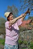 Μια ηλικιωμένη ψαλίδα κηπουρών γυναικών κόβει τον κλάδο δέντρων της Apple στο s Στοκ Φωτογραφίες