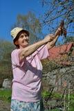 Μια ηλικιωμένη ψαλίδα κηπουρών γυναικών κόβει τον κλάδο δέντρων της Apple στο s Στοκ Φωτογραφία