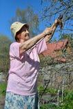 Μια ηλικιωμένη ψαλίδα κηπουρών γυναικών κόβει τον κλάδο δέντρων της Apple στο s Στοκ Εικόνα