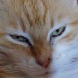 Μια θαυμάσια πορτοκαλιά και άσπρη γάτα στοκ εικόνα