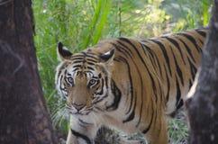 Μια θηλυκή τίγρη της Βεγγάλης που εξετάζει τη κάμερα Στοκ Εικόνες