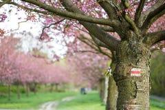 Μια διάβαση πεζών μέσω του κήπου με τα ιαπωνικά δέντρα κερασιών Στοκ εικόνες με δικαίωμα ελεύθερης χρήσης