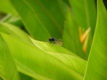Μια λιβελλούλη στο πράσινο φύλλο Στοκ Φωτογραφίες
