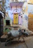 Μια ιερή αγελάδα στην Ινδία Στοκ Εικόνα
