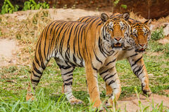 Μια ινδική τίγρη στις άγρια περιοχές Βασιλική, τίγρη της Βεγγάλης Στοκ φωτογραφίες με δικαίωμα ελεύθερης χρήσης