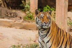 Μια ινδική τίγρη στις άγρια περιοχές Βασιλική, τίγρη της Βεγγάλης Στοκ φωτογραφία με δικαίωμα ελεύθερης χρήσης