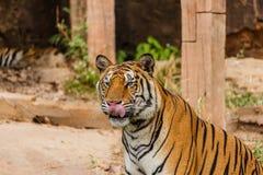 Μια ινδική τίγρη στις άγρια περιοχές Βασιλική, τίγρη της Βεγγάλης Στοκ Φωτογραφίες
