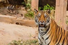 Μια ινδική τίγρη στις άγρια περιοχές Βασιλική, τίγρη της Βεγγάλης Στοκ εικόνες με δικαίωμα ελεύθερης χρήσης