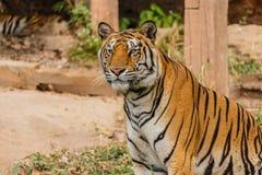 Μια ινδική τίγρη στις άγρια περιοχές Βασιλική, τίγρη της Βεγγάλης Στοκ Φωτογραφία