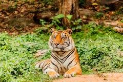 Μια ινδική τίγρη στις άγρια περιοχές Βασιλική, τίγρη της Βεγγάλης Στοκ εικόνα με δικαίωμα ελεύθερης χρήσης