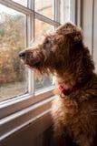 Μια ιρλανδική συνεδρίαση τεριέ σε ένα παράθυρο που κοιτάζει έξω wishfully στοκ φωτογραφία με δικαίωμα ελεύθερης χρήσης