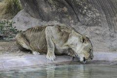 Μια διψασμένη τίγρη στο ζωολογικό κήπο Στοκ εικόνα με δικαίωμα ελεύθερης χρήσης