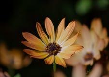 Μια κίτρινη κινηματογράφηση σε πρώτο πλάνο λουλουδιών μαργαριτών, μακροεντολή με το θολωμένο κίτρινο υπόβαθρο λουλουδιών στοκ εικόνες