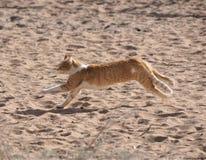 Μια κίτρινη τιγρέ γάτα που τρέχει στην άμμο ερήμων στοκ εικόνα