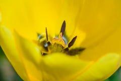 Μια κίτρινη τουλίπα Στοκ εικόνα με δικαίωμα ελεύθερης χρήσης